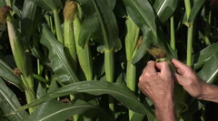 4K Farm Hand Man Inspects Mature Corn Growing In Field Stock Footage
