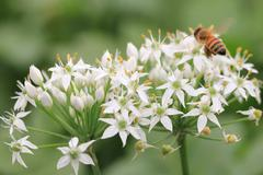 Chinese Chive flowers and bee Stock Photos