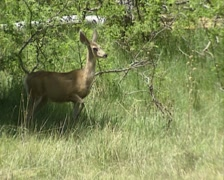 Mule deer (Odocoileus hemionus) at forest edge, stamping front feet Stock Footage
