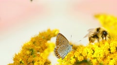 Stock Video Footage of Butterfly and bumblebee on the Solidago virgaurea flowers