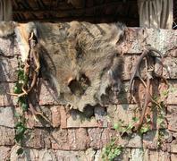 wild boar fur - stock photo