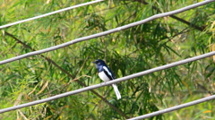 Oriental magpie robin is sings. Stock Footage