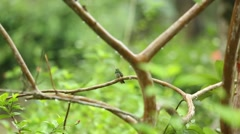Rufous Tailed Hummingbird on branch Stock Footage