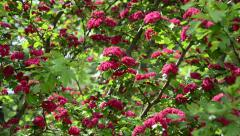 Tilt up of beautiful hawthorn (Crataegus laevigata) tree blooms Stock Footage