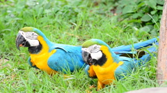 Macaw parrots. HD Stock Footage