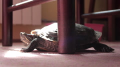 Turtle scrape the leg of a chair. Wide shot. Indoor. Carpet. House. Stock Footage
