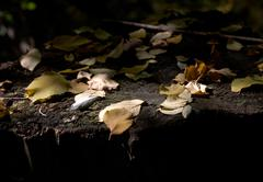 the fallen down yellow leaves - stock photo
