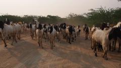 Herd of Goats in Bagan, Mandalay Region, Myanmar (Burma) Stock Footage