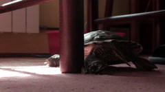 turtle scrape the leg of a chair. Wide shot. Indoor. Carpet. House. - stock footage