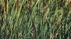 Cattails and Windy Sunny Day Stock Footage