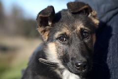 puppy of a mongrel - stock photo
