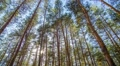 pine forest,  time lapse, Footage