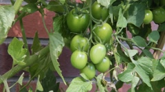 Green tomatoes on the bush - stock footage