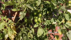 Green tomatoes on the bushes - stock footage