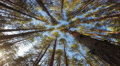 tops of the trees in the pine forest,  time lapse Footage