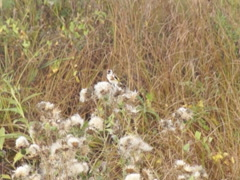 Goldfinches on thistle seeds Stock Footage