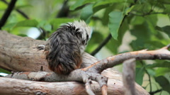 Tiny Tamarin monkey turns to stare into lens - stock footage