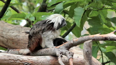 Tamarin monkey looking at camera Stock Footage