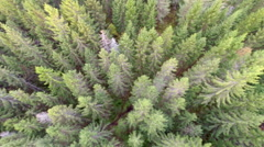Camera flying over large spurce forest - stock footage