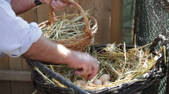 Hands gathering fresh eggs,basket,nest,free range chicken farm,poultry,outdoors Stock Footage