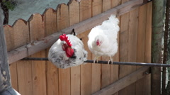 Beautiful white rooster, white hen, two birds, traditional chicken farm, poultry Arkistovideo