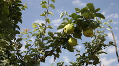 Ripe quince and yellow fruit in tree at orchard on a sunny day with clear sky Stock Footage