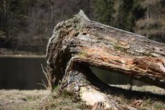 an old dead fallen tree - stock photo