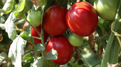 Farmer hands gathering beautiful ripe tomatoes, vegetable garden, farm, close up Stock Footage