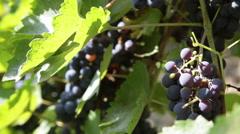 Grapevine, bunch of dark blue grapes, ripe fruits, vineyard, harvest, tilt up Stock Footage