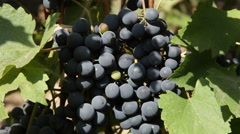 Red wine grapes hanging on the vine, sunny day, autumn, close up Stock Footage