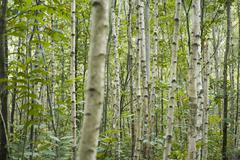 Forest of aspen trees, selective focus - stock photo