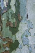 Colorful bark of sycamore tree Stock Photos