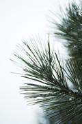 Pine needles lightly dusted with snow, close-up - stock photo