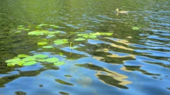 Lakeside with duck and water lilies Stock Footage