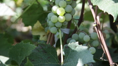 White wine grapes hanging on the vine, sunny day, autumn, tilt up Stock Footage