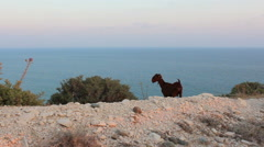 Mountaing goat grazing on a cliff by the sea Stock Footage