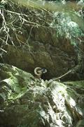 Mouflon in rocky terrain Stock Photos