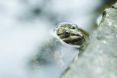 Natterjack toad emerging from water Stock Photos