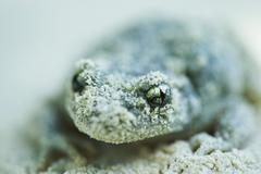 Midwife toad (Alytes obstetricans) covered in sand Stock Photos
