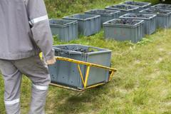 France, Champagne-Ardenne, Aube, worker hauling bins of grapes, cropped Stock Photos