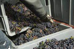 Stock Photo of Worker transferring grapes to large bins, cropped