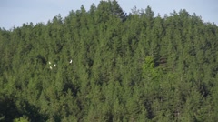 Flock of white ducks fly in slow motion background with pine forest Stock Footage