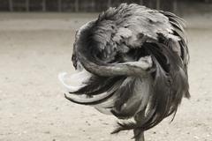 Greater Rhea (Rhea americana) - stock photo