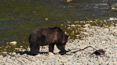 Grizzly Bear Eating Salmon at Atnarko River, British Columbia Stock Footage