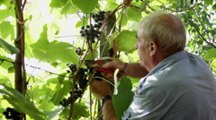 Old man harvesting grape bunches, wine, vineyard, countryside, picking Stock Footage