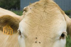 Cow with ear tag, extreme close-up Stock Photos