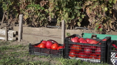 Crates full with red ripe tomatoes, vegetable garden, farm, good crop, harvest Stock Footage