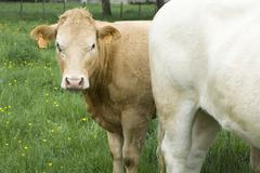 Brown cow in pasture with white cow, looking at camera - stock photo