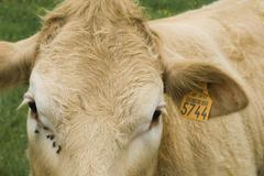 Brown cow with ear tag, close-up Stock Photos