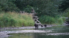 Grizzly Bear Mother with Cubs at Antarko River Stock Footage